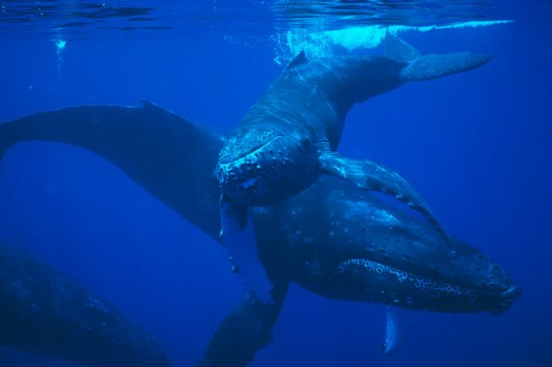 This film follows the first year of a humpback whales life as she learns the lessons of humpback society from her mother. Pictured: Mother and calf humpback whales off Maui.