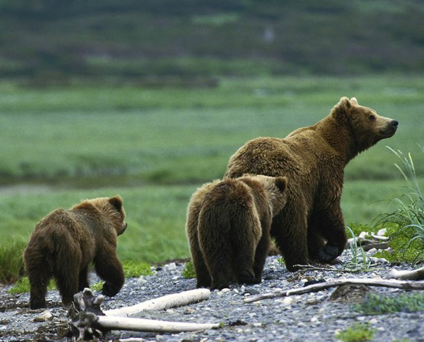 A brown bear and her cubs. This program explores the secret world of rainforest grizzlies (brown bears) for a better understanding of these creatures and how their environment is being depleted by mankind.