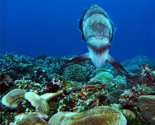 A Broadclub cuttlefish hunting display. This documentary allows viewers to get up close and personal with cuttlefish, the strange and amazing animals that can hypnotize their prey, impersonate the opposite sex, and even kill with lightening fast speed. 