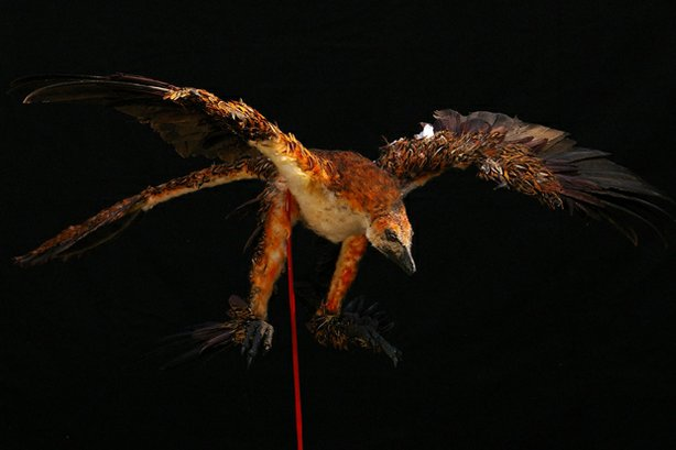 "Photo of a ""flight-ready"" wind tunnel model of Microraptor complete with feathers and articulating joints. Is it the key to understanding the origin of flight or merely an evolutionary dead end unrelated to the ancestry of birds? To help solve the riddle, NOVA assembles a team of top paleontologists, aeronautical engineers and paleo-artists to reconstruct the microraptor and build a sophisticated model for a wind tunnel experiment. The results have surprising implications for long-accepted ideas about how winged flight began."