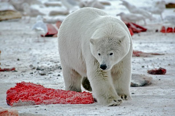 Frontier North Polar Bear Tours