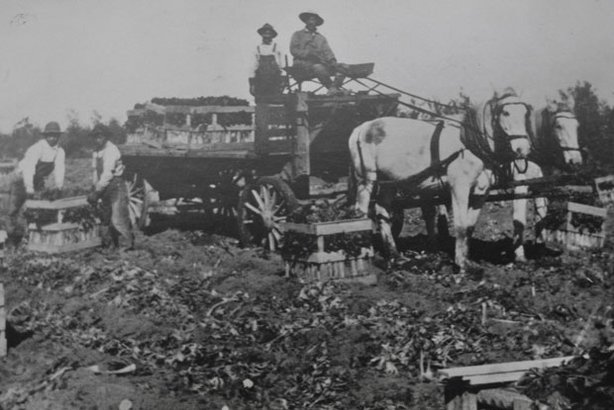 Historical photo of immigrants working on a celery farm, Chula Vista c. 1920