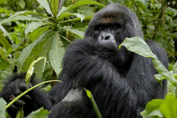 King among the mountain gorillas of Rwanda, Titus (pictured) is one of only 700 of his kind alive today. This program traces his extraordinary life and times, from his early days to his rise to power as a silverback.