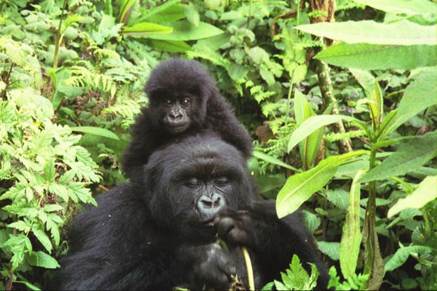 Gorilla mother and baby, Parc National des Volcans, Rwanda, August 4, 2005. For an infant gorilla, Mama is food, transport and playground.