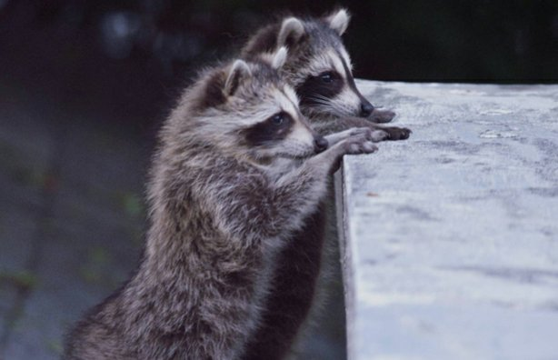 Two juvenile raccoons exploring