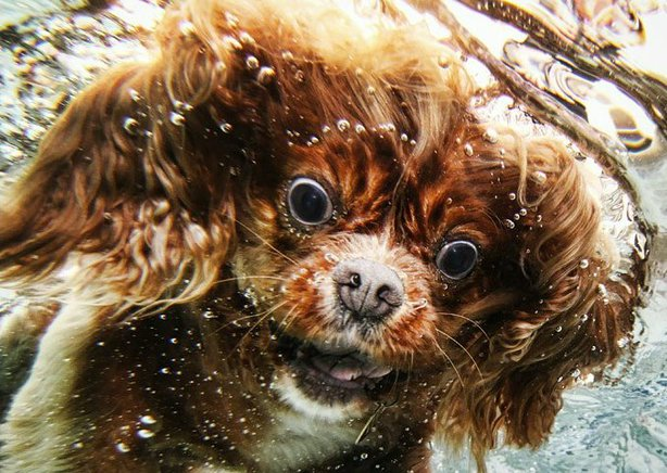 One of Seth Casteel's photographs of dogs underwater. Genius!