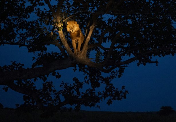 """Lion in a Tree"" is one of National Geographic magazine's top ten photos of 2011."