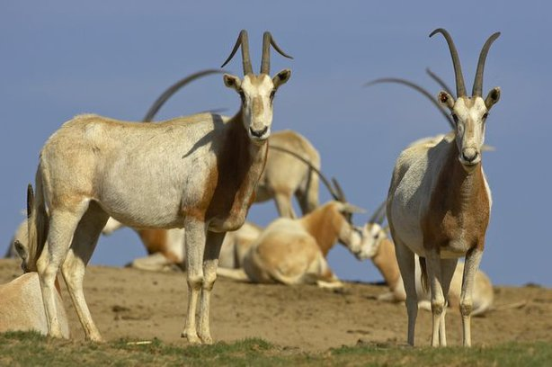 Scimitar-horned oryx.