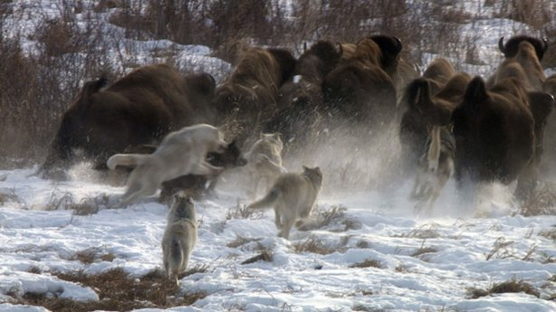 Pile up of wolves chasing buffalo.