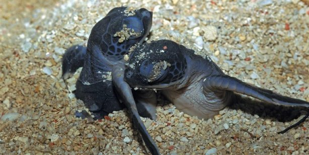 Pacific Leatherback hatchlings emerge from the sand.