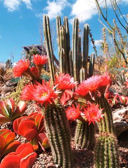 Photo of a flowering cactus. One of the Gardens newest exhibits, the cactus and succulent garden showcases the stunning year-round beauty of these plants. The Water Conservation Garden has nearly five acres of displays that showcase water conservation through a series of beautiful themed gardens. 