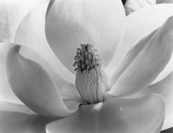 Photo of a magnolia blossom by Imogen Cunningham. The Oceanside Museum of Art is hosting a new exhibit, &quot;Botanicals: The Photography of Imogen Cunningham,&quot; on display from January 9 - May 22, 2011.
