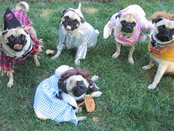 Promotional photo of pugs at the annual Del Mar Pug Party.