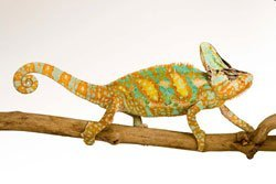 Photo of a veiled chameleon. Native to the southwestern Arabian Peninsula, veiled chameleons have special cells in their skin that facilitate rapid and complex color-pattern changes, which they use to communicate with other individuals and for camouflage. Photo: © D. Finnin/AMNH