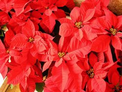 Promotional image of poinsettias at First United Methodist Church
