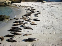 Children&#39;s Pool in La Jolla is home to more than 200 harbor seals.