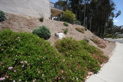 Jacobs converted a steep slope on the south side of the home from ice plant to a drought-tolerant bedding plant. He added burlap under the new bedding to prevent water from flowing down the slope onto the sidewalk and street below.