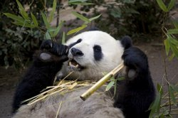 San Diego Zoo&#39;s 17-year-old giant panda Bai Yun.