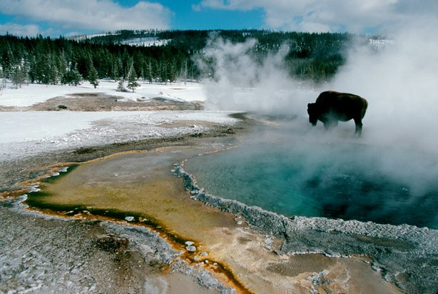 A bison stops near Crested Pool in the Upper Geyser Basin of Yellowstone National Park.
