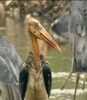 Greater adjutant storks; Guwahati, Northern India