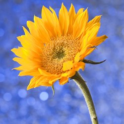 Poway High School's football stadium will be filled with 8,000 sunflowers for Chelsea King's memorial service. The service begins at 2 p.m. on March 13, 2010.