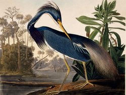 John James Audubon&#39;s illustration of a blue heron.