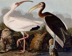 John James Audubon&#39;s illustration of white and brown ibis.