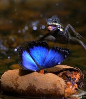 A basilisk lizard walks on water to catch a butterfly. 