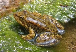 Mountain yellow-legged frog (Rana muscosa) in City Creek, San Bernardino County, Calif., September 13, 2005. This young frog is less than one-and-a-half inches long. Adults measure about two to three inches long.