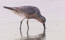 A tiny bird called a red knot, which migrates 10,000 miles from South America to the Arctic each year.