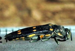 The gold-spotted oak borer beetle. The insect bores into an oak and lays it eggs. When they hatch the larvae eat the tree and eventually kill it. The beetles have killed more than 20,000 oak trees in San Diego County.