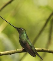 Swordbilled hummingbird on a branch