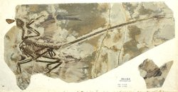 A fossil of Microraptor, found in a Chinese stone quarry in 2002.