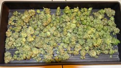 Marijuana grown and harvested at Oaksterdam University in Oakland, CA.