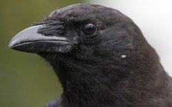 "Close-up of an American crow, a bird common to the U.S., southern Canada, and northern Mexico, whose species name (brachyrhynchos) literally means ""short-billed crow."""