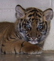 Majel, anther 8-week-old Sumatran tiger cub photographed at the San Diego Zoos Safari Park, is also part of the Safari Park Tiger Breeding Program meant to boost the shrinking number of tigers in the wild.