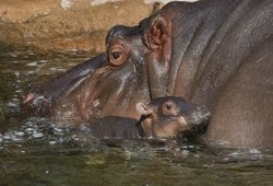 A hippo was born at the San Diego Zoo around 11 a.m. on Wednesday, Jan.26th.