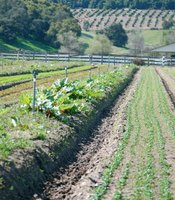 Tierra Miguel Farm in Pauma Valley is one of many local farms that provides locally grown food for the San Diego Unified School District.