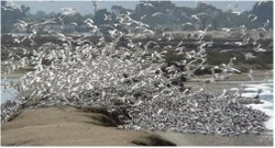 A flock of birds at the San Diego National Wildlife Refuge.