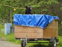 Male black bear gets into trash left in a trailer in an Anchorage neighborhood. This bear eventually moved on into the nearby woods.