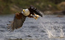 African fish eagle fishing above Victoria Falls. In the clear, calm waters, fish eagles hunt constantly for fish. They are raising chicks, and must catch enough fish for the whole family. The young must grow strong quickly if they are to learn to hunt on their own before the rains return.