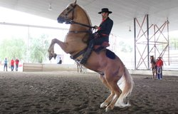 Portuguese show horse as featured in CROSSING SOUTH.