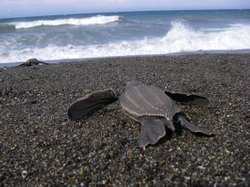 Leatherback Turtle