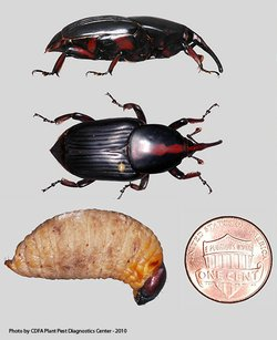 Various life stages of the South American Palm Weevil.