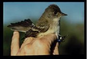 Many are worried about the Southwestern Willow Flycatcher's habitat.