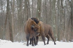 European bison in the Chernobyl zone. Bison and feral horses were reintroduced to the zone in the 1990s to bring back the region's original bio-diversity. Both species have been thriving.