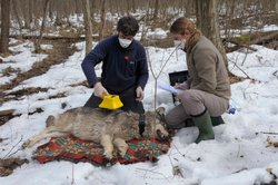 Christoph and Barbara Promberger, carnivore experts from Germany and Austria, examining and radio-collaring a wolf in the Chernobyl zone. They are measuring the radioactive contamination of the animal's fur. To avoid inhaling contaminated hair, they wear face masks.