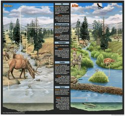 This illustration shows the Yellowstone National Park ecosystem before and after the Alaskan gray wolves were returned to the wild, starting in 1995.