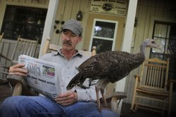 A turkey makes itself comfortable as Jeff Palmer reads a newspaper.