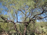 Mesquite grows throughout the US southwest and northwestern Mexico. 